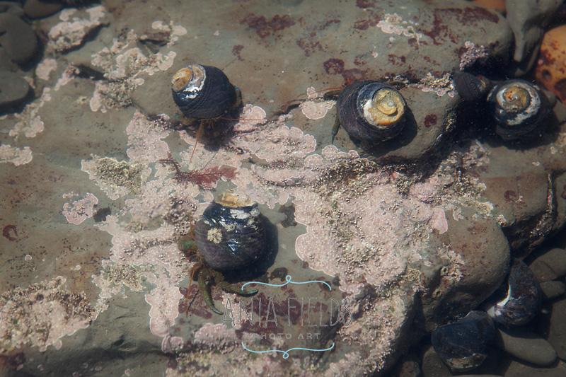 hermit crabs Duxburry reef CA