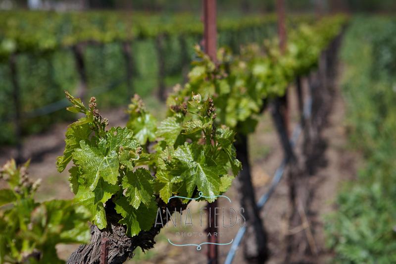 spring vineyard shoots