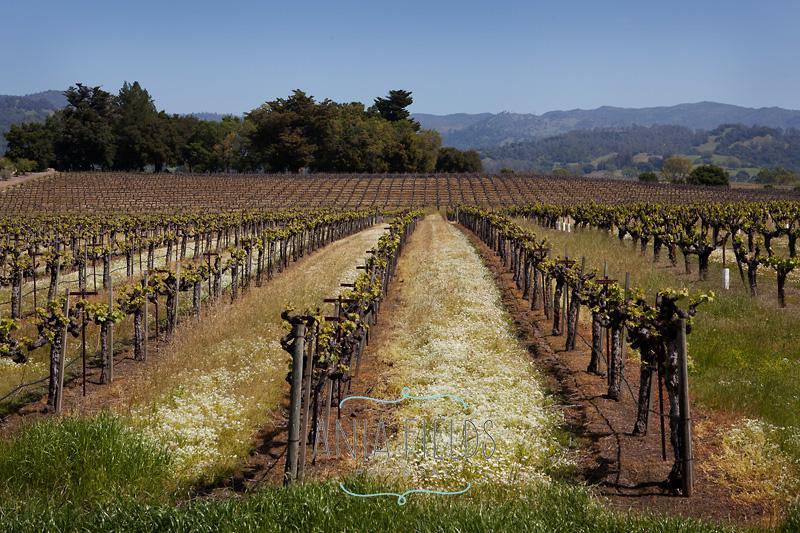 vineyard in spring Sonoma county