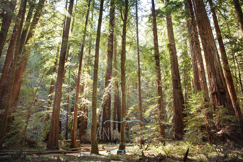 spring in Armstrong Redwoods