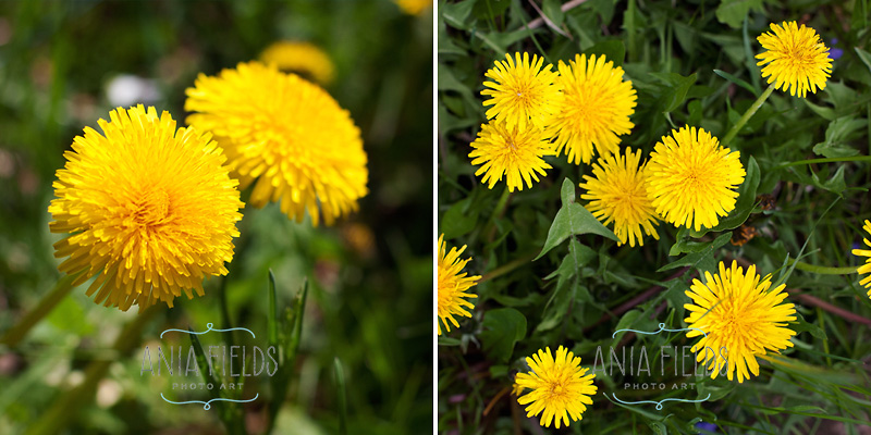 dandelion-honey-recipe_01