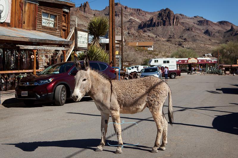 Oatman AZ burros