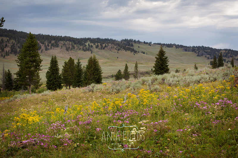wild meadows at Yellowstone