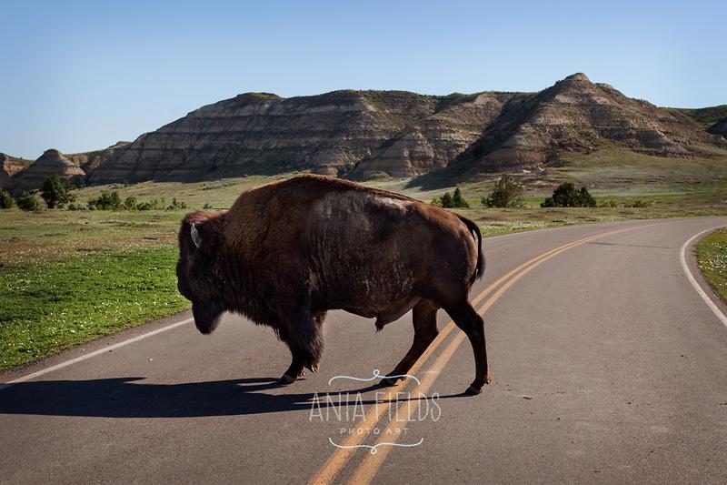 wild buffalo at Teddy Roosevelt NP