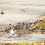 birds-drinking-water