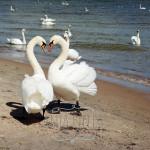 swans-in-love